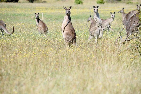 Kangaroos (2)  TBW Newsgroup
