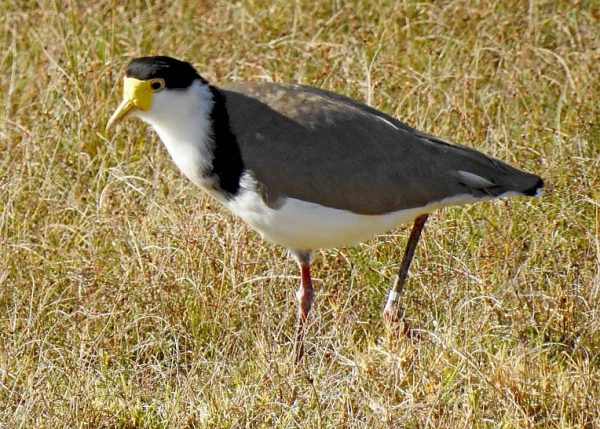 Lapwing With Band  TBW Newsgroup