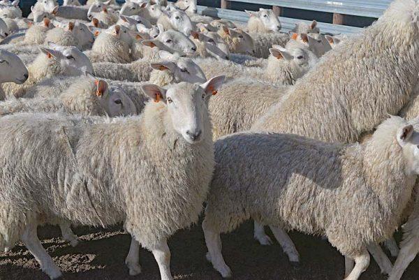 Sheep TBW Newsgroup