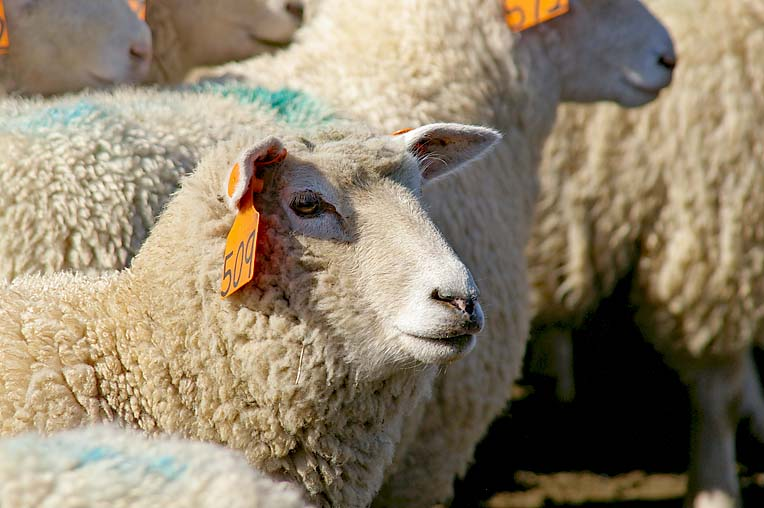Lamb (2)  TBW Newsgroup