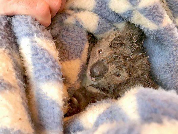 Koalas Threeweb TBW Newsgroup