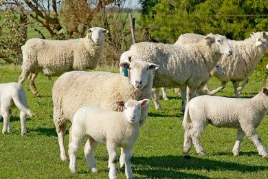 Lambs  TBW Newsgroup