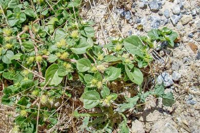 Khaki Weed 2  TBW Newsgroup