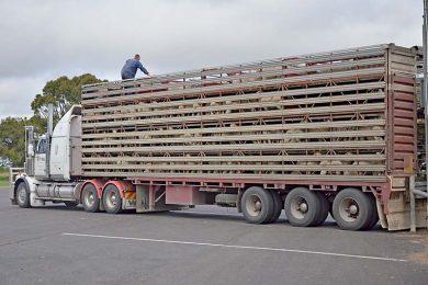 Sheep Truck  TBW Newsgroup